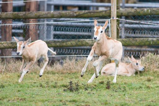 Two of the new baby Scimitar-horned Oryx recently born in Fota Wildlife Park, Cork
