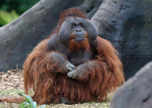 Sibu the Orangutan sits in her new Forest habitat in Dublin Zoo yesterday Photo: Colin Keegan, Collins Dublin