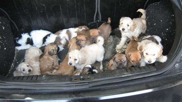 None of the puppies were in poor health. But they were all too young to travel and did not have the required pet passports.