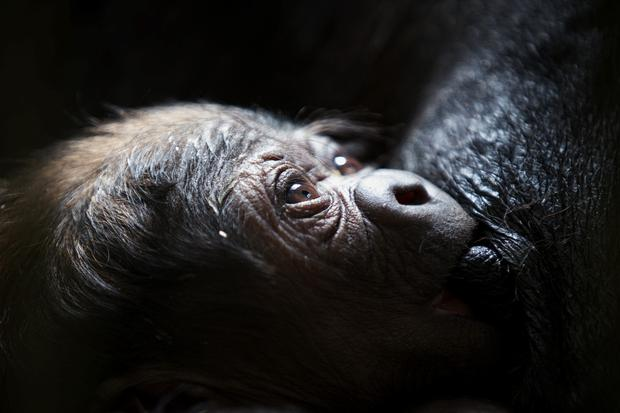 Dublin Zoo is delighted to announce the arrival of a bouncing, baby western lowland gorilla. Proud mum, Lena, gave birth to a healthy, baby gorilla in the early hours of Saturday morning. Photo: Patrick Bolger