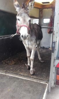 Donkey was rescued with severely uncomfortable overgrown hooves Photo: ISPCA