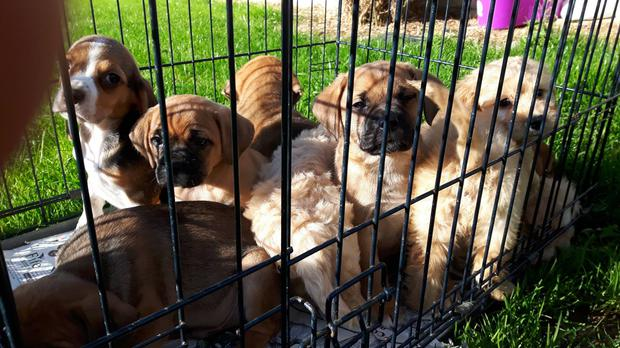 The DSPCA are looking to re-home the puppies Photo: DSPCA
