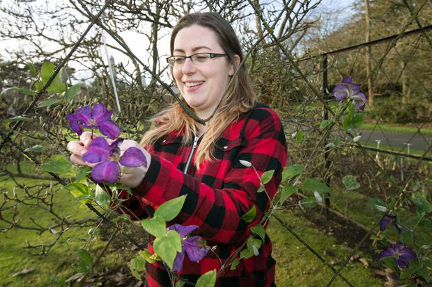 Niamh Donohoe, a gardener at the National Botanic Gardens in Glasnevein, with a clematis blooming out of season. Photo: Tony Gavin