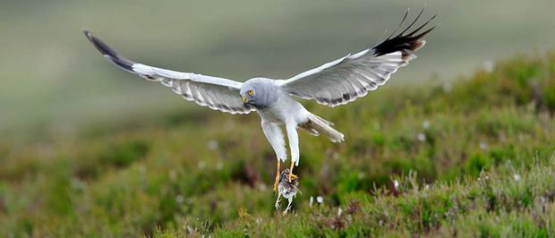 The survival of hen harriers is regarded as a valuable measure of how healthy the countryside remains
