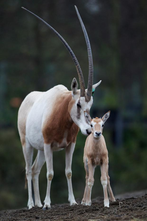 There are now four members of the herd at Dublin Zoo. Photo: Dublin Zoo