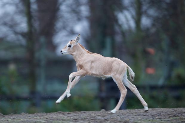The baby scitimar-hormed oryx Photo: Dublin Zoo