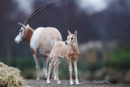 Dublin Zoo welcomes a new baby scitimar-hormed oryx