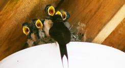 The fine June weather brought a flush of insects that helped a pair of swallows with five hungry mouths to feed in a porch light at the Shed distillery in Drumshanbo, Co Leitrim. Staff are using an alternative entrance while waiting for the chicks to fledge. Photo: Brian Farrell