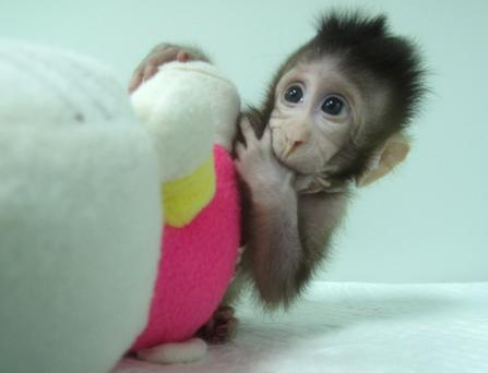 Cloned monkey Zhong Zhong at the Chinese Academy of Sciences in Shanghai. Photo: Chinese Academy of Sciences handout from Cell/ via REUTERS