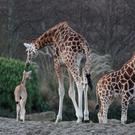 Dublin Zoo has welcomed a new baby giraffe Photo: Dublin Zoo