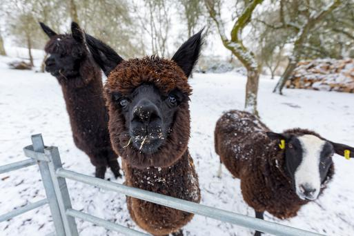 Alpacas and a Zwartable sheep at Suzanna Cramptons farm in Bennettsbridge, Co Kilkenny, after heavy snowfalls over night. Photo: Dylan Vaughan