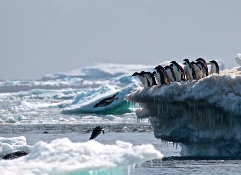 Adélie penguins leaping off an iceberg in the Danger Islands in Antarctica. Photo: AFP/Getty