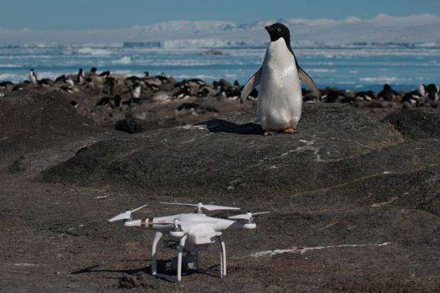 An Adélie penguin looking at a drone used in the research. Photos: Getty