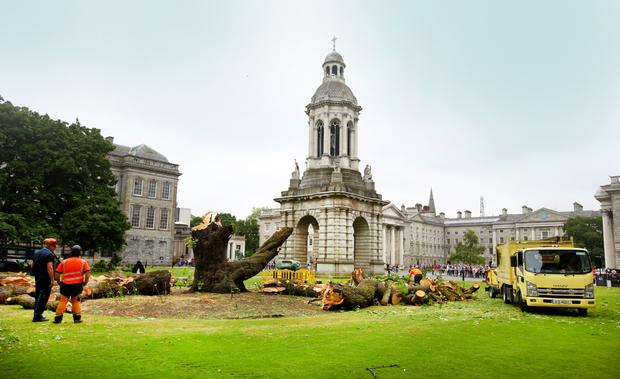 The front square of Trinity College where a 170-year-old tree collapsed on Saturday morning. Photo: Gerry Mooney