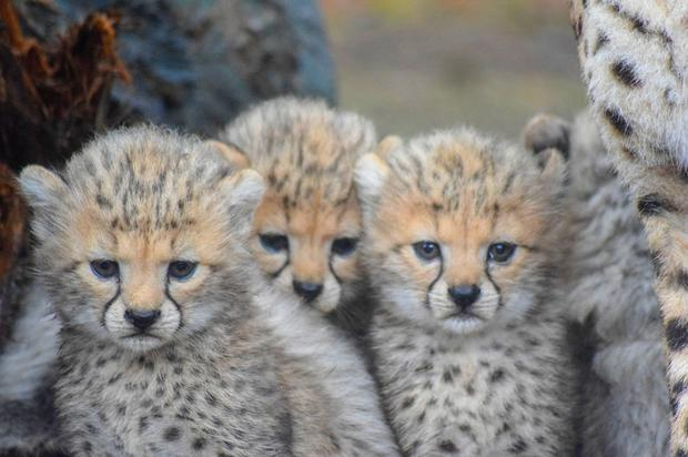 New arrivals: Fota Wildlife Park in Cork is calling on the public to help name their two male and two female cheetah cubs