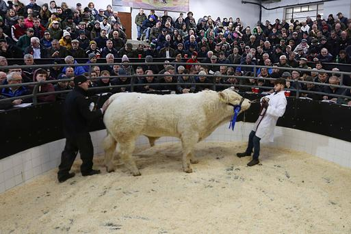 Farmers at Elphin mart check out lots at the recent charolais sale. But Brexit will bring huge problems for the farming sector. Photo: Brian Farrell