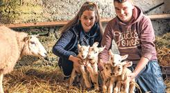 Ciara Flannery aged 17 with her father's sheep who gave birth to 5 lambs on their farm in Bangor Erris, Co. Mayo. With her is neighbour Sean O'Boyle, aged 16. Photo : Keith Heneghan