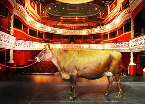 Nell the cow pictured on the stage of the Gaiety Theatre ahead of the opening of Stones in His Pockets
