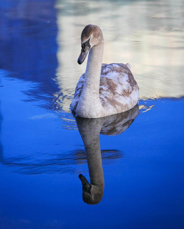 Pollution concern: A swan on the Grand Canal in Dublin