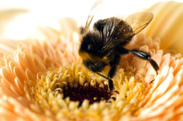 Bad buzz: Since 2012, Ireland has lost 17pc of its bumblebee population