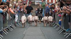 The animals being walked to the first race of the day at the Pig Derby in Arklow, Co Wicklow in 2015. Photo: Michael Kelly