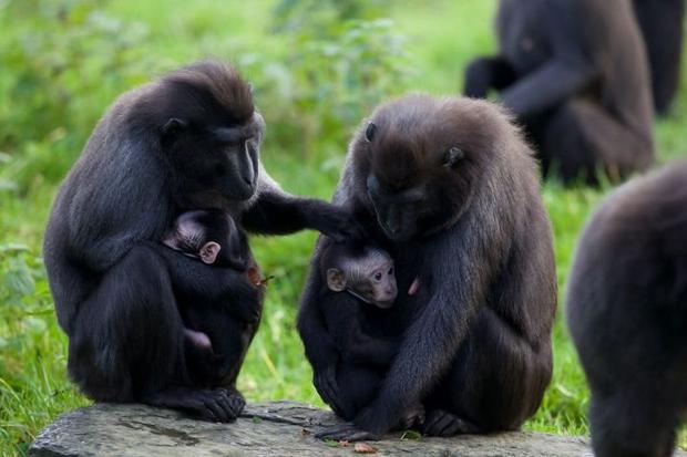 Family: Dublin Zoo has a number of Sulawesi crested macaques