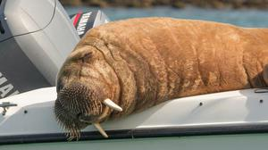 Wally the walrus previously photographed in Clonakilty, Co Cork. Photo: Clonakilty Distillery