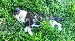 The dead kitten pictured on the green area of a housing estate in Drogheda.