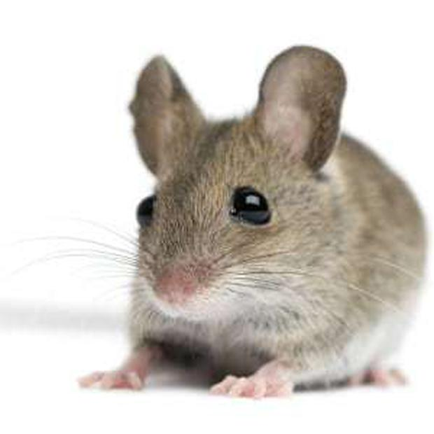 Dead mice were found in the food prep and storage areas of one business.