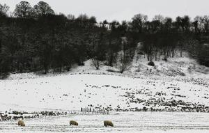 Hardy sheep search for grazing in this snow- covered field in Cavan yesterday. Photo: Lorraine Teevan.