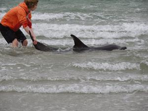 CAPTION: Shea Coyle rescuing one of the two dolphins on Downings beach, on the Rosguill Peninsula, Co Donegal.