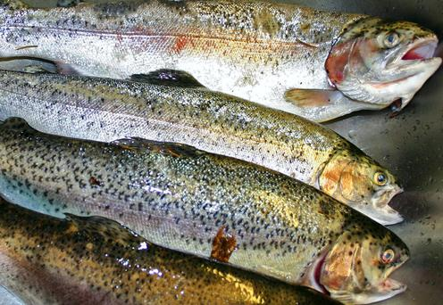 Almost 230,000 fish were lost when storms battered a salmon farm in Gerahies, Bantry Bay, Co Cork, in February 2014 (stock photo)