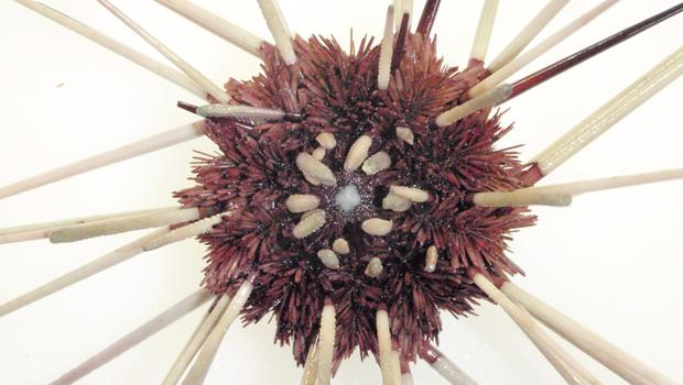 Sea urchins are able to distinguish between active and inactive predators.