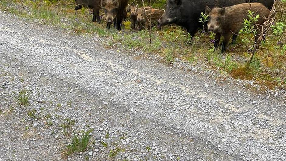 The public in Kerry are asked to report any sightings of a large male boar running wild in the Mount Eagle area and not to approach him. The NPWS have moved quickly to eradicate a number of the animals, now an alien species, after a report came in from the area on Tuesday. However the large male has not been located and is now running wild.