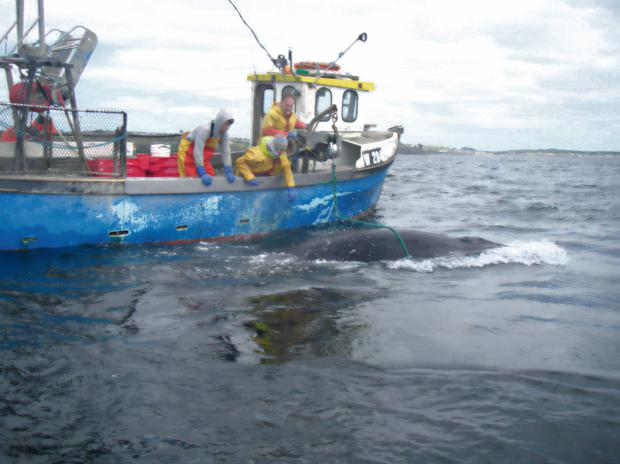 Crew on fishing boat Luch na Farraige work to free a whale caught up in its lobster pots in Tramore bay yesterday