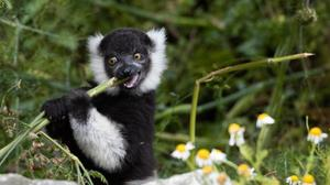 The black-and-white ruffed lemur is a critically endangered species. Photo: Fota Wildlife Park/Twitter