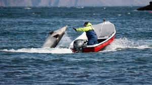 Fungie the dolphin in Dingle bay, Co Kerry