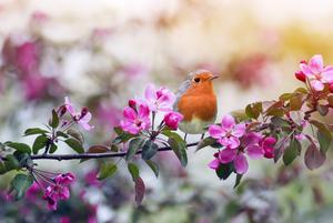 Great outdoors... A robin perches on an apple bough, now in flower and spreading colour all over