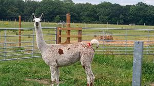 Tiny anitbodies produced by llamas could provide a new treatment for Covid-19. Photo: University of Reading/PA