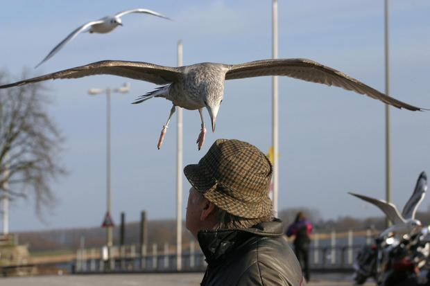 The council has received multiple complaints from residents about aggressive seagulls