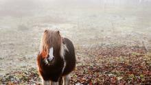 A shetland pony stands in an icy field in Ferbane, Co. Offaly. Photo: Brian Lawless/PA Wire
