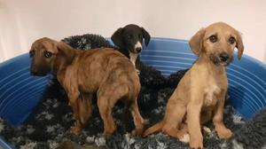 Lurcher pups discovered during customs check. Photo: DSPCA Facebook