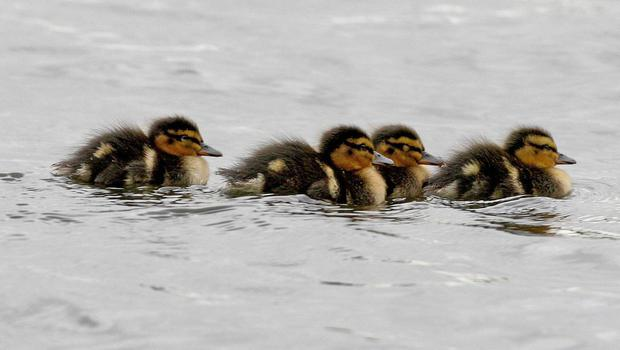 DSCPA 'inundated' with calls about ducklings for sale