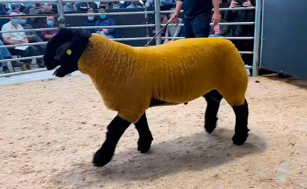 The Suffolk ram was sold at Blessington Mart in Co Wicklow