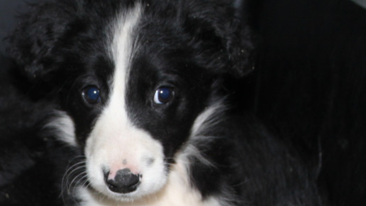 Irish dealers place 'profits over welfare' in trafficking sick puppies to Scotland