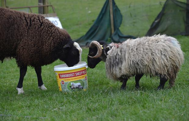 Noddy with his best pal, a Zwartble ram. Photo: Ray Ryan