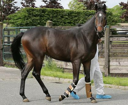 One of the horses at Swordlestown stud before heading for export to China. Photo: Caroline Norris