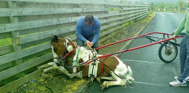 DANGEROUS PRACTICE: A good Samaritan comes to the rescue of a pony injured by 'sulky' road racing