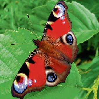 The peacock butterfly made its first appearance here this year in January.
