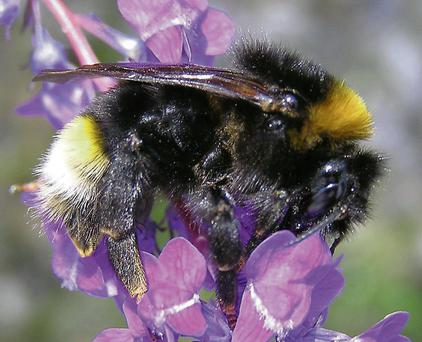 Southern cuckoo bumblebee, last spotted in Co Carlow in 1926, was found in St Enda's Park in Rathfarnham two weeks ago.